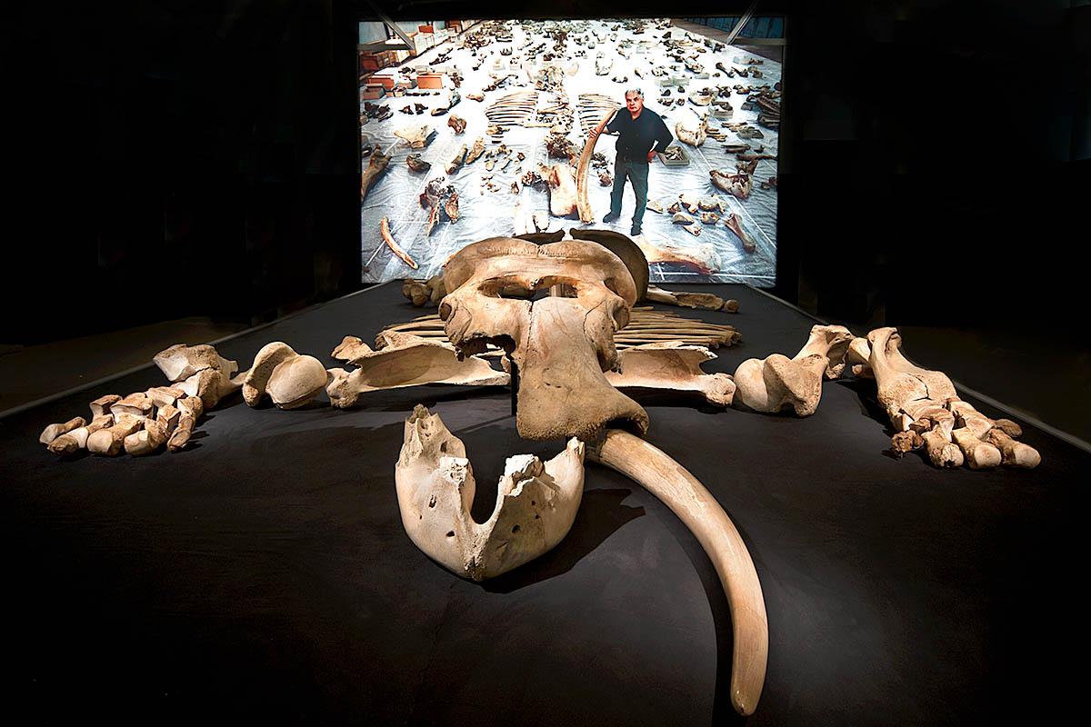 Das Foto zeigt die Knochen eines Altelefantenskeletts.