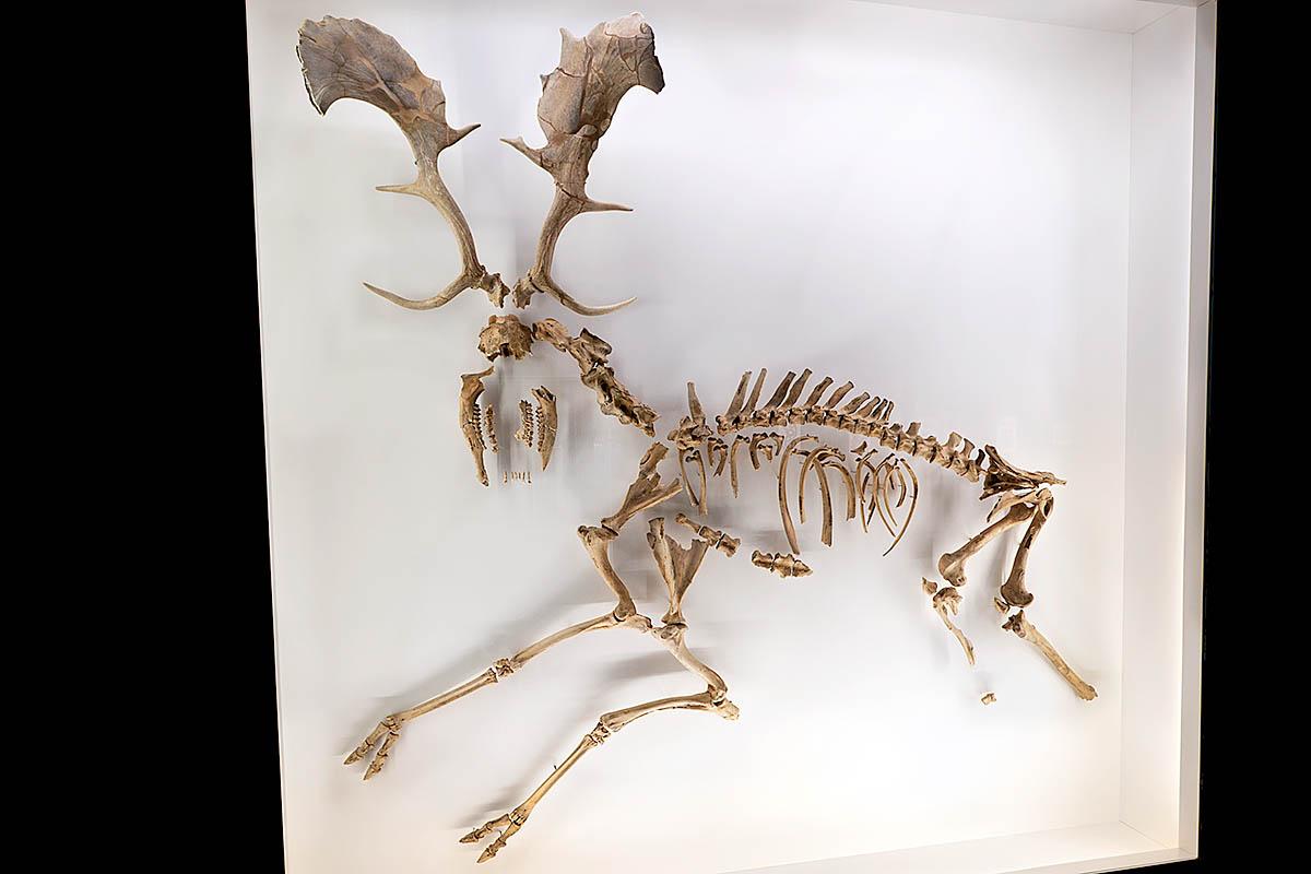 Das Foto die Knochen eines Höhlenlöwens (Panthera leo spelaea).