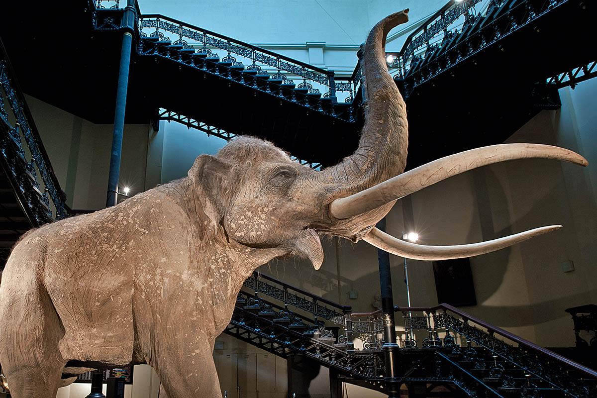 Das Foto gibt einen Einblick in die Ausstellung, im Zentrum steht die Elefanten-Rekonstruktion eines Hallenser Künstlers im Treppenhaus des Museums.
