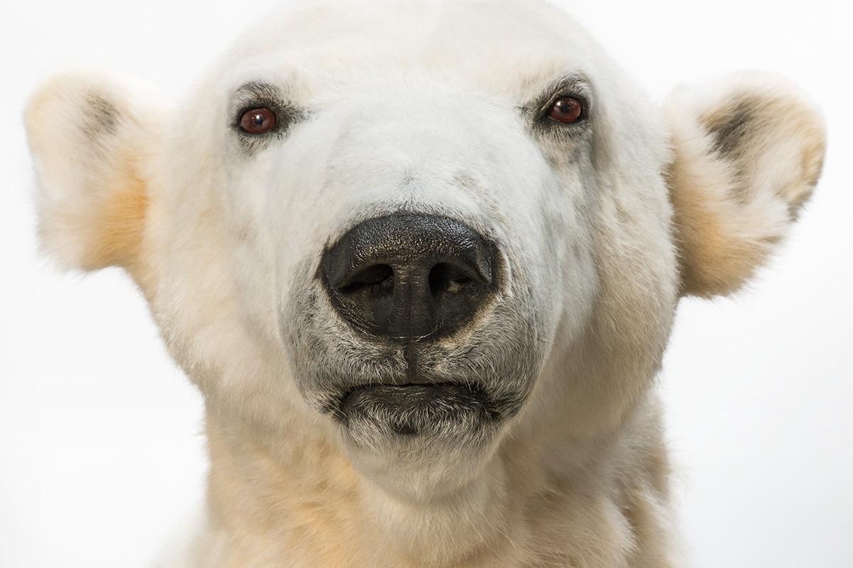 """Das Foto zeigt den Kopf vom Präparats des Eisbären """"Knut""""."""