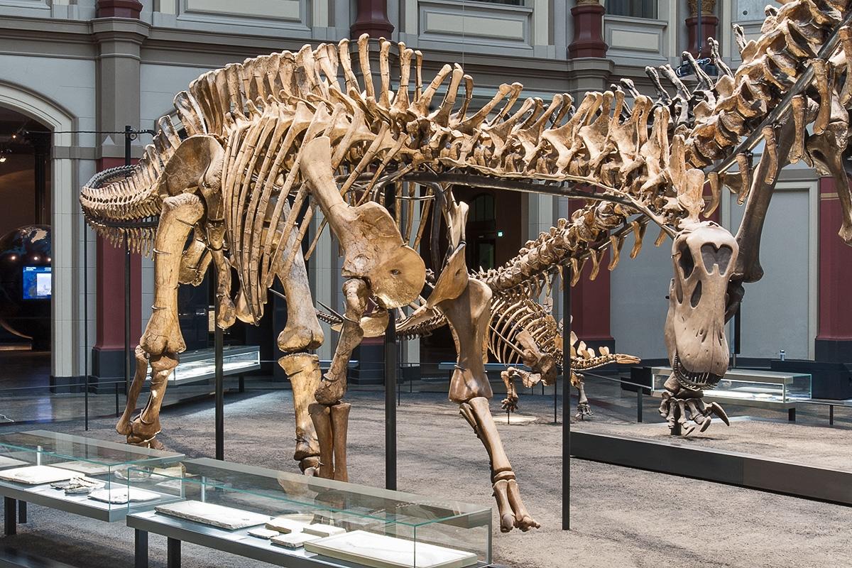 """""""m"""" im Museum: Das Museum für Naturkunde Berlin stellt den vollständigsten Fund eines Dicraeosauriers im Original aus."""