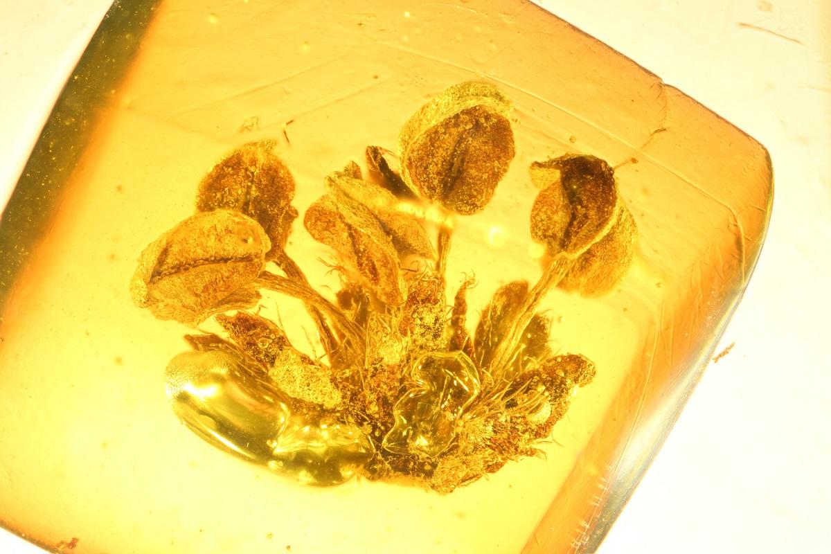 Einschluss einer männlichen Eichenblüte (Quercus emanuelii) in Bitterfelder Bernstein, Untermiozän, ca. 23 Millionen Jahre alt. Foto: Eva-Maria Sadowski/Museum für Naturkunde Berlin