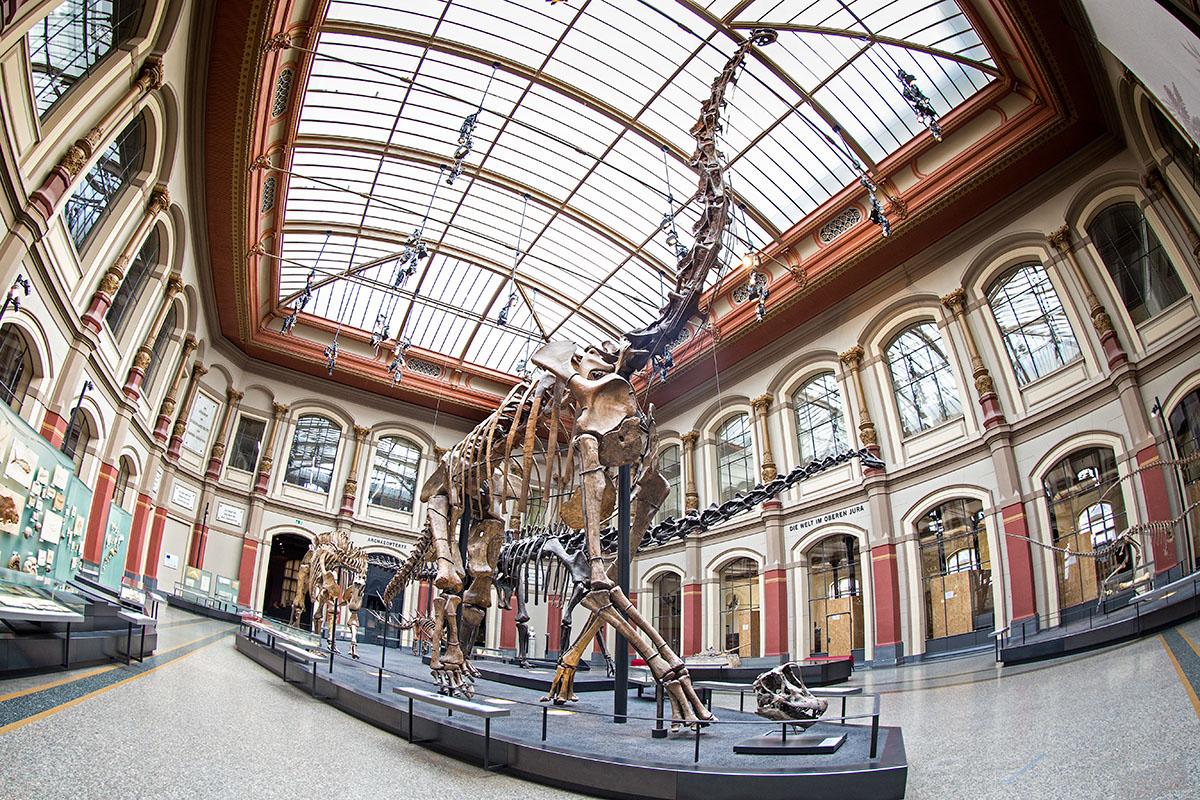 Brachiosaurus brancai ist das Symbol der Deutschen Tendaguru Expedition (1909-1913). Das Skelett des Museum für Naturkundemuseum Berlins ist derzeit das höchste ausgestellte Dinosaurierskelett der Welt.