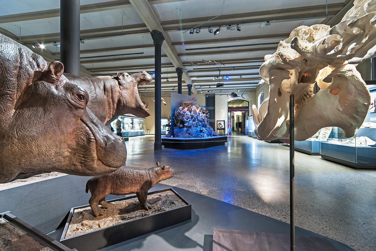 Das Foto zeigt die Flusspferdgruppe bestehend aus drei Modellen aus Gips und einem Skelett.