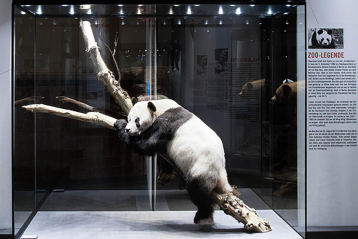 Das Foto zeigt die Vitrine mit der Dermoplastik von dem Panda Bao Bao auf einem Ast.
