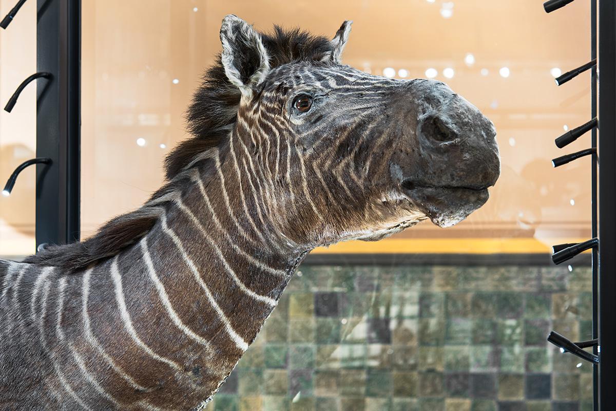 Das Quagga ist eine ausgestorbene Form des Steppenzebras. Das Foto zeigt seinen Kopf im Profil, das Fell ist braun und hat zarte weiße Streifen.