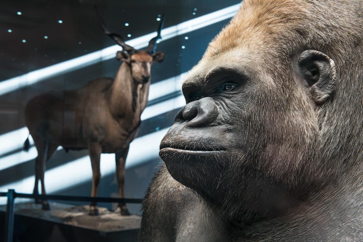 Das Foto zeigt das Gesicht des Gorillas Bobby. Im Hintergrund befindet sich das Präparat einer Riesen-Elanantilope