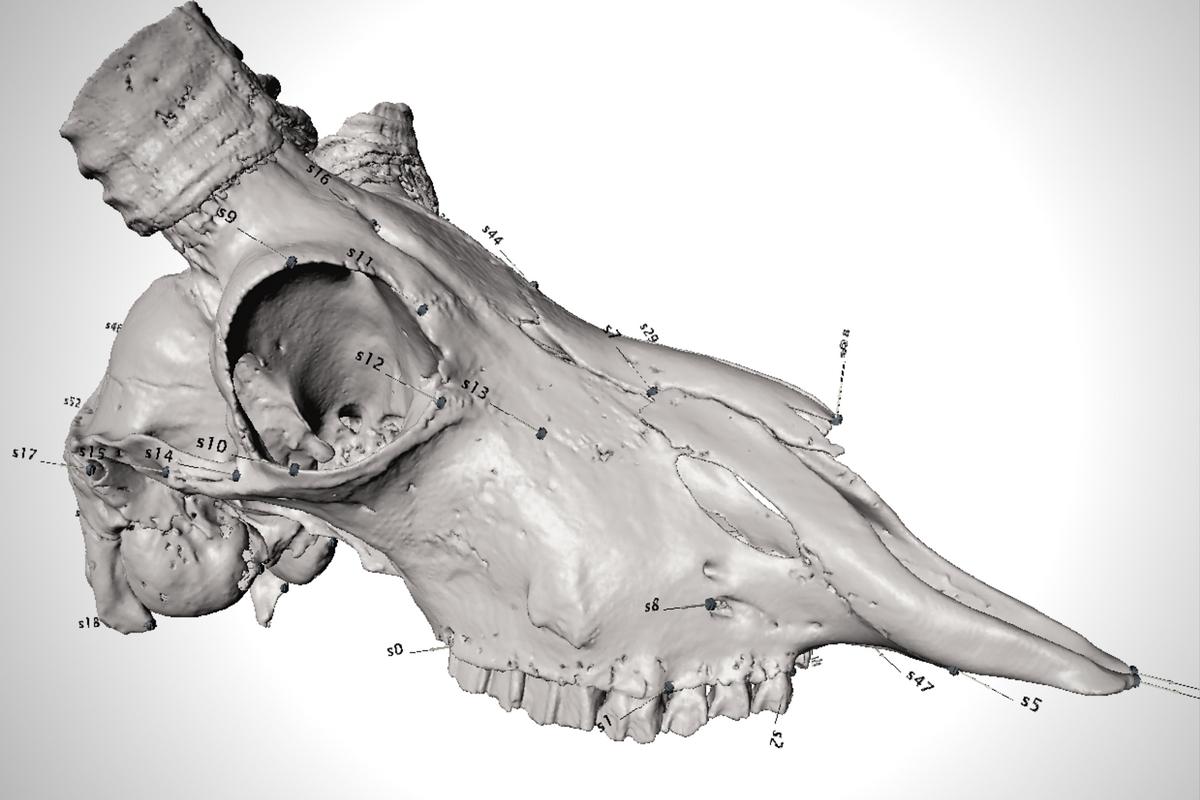 Referenzpunkte, sogenannte Landmarken, aufgetragen auf ein 3D-Schädelmodell einer Antilope