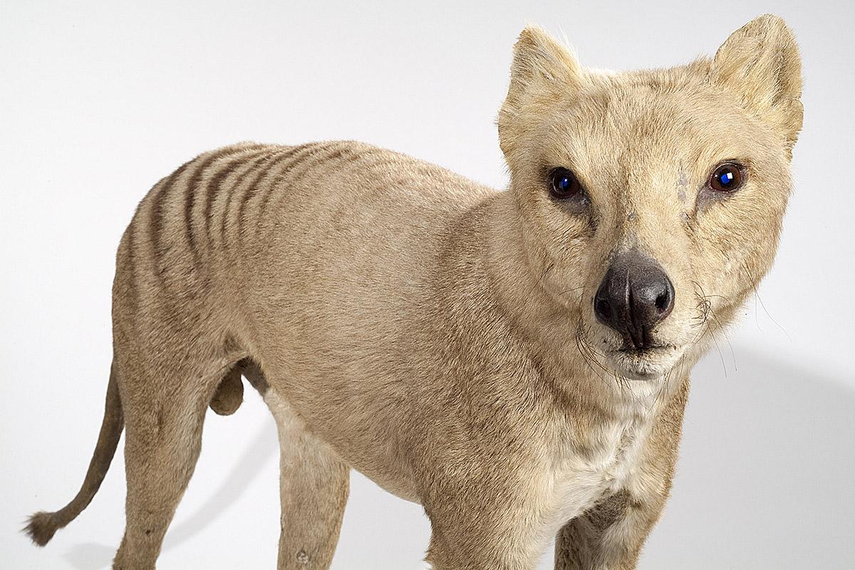 Das Foto zeigt den Beutelwolf von der Seite, sein Fell ist hellbraun.