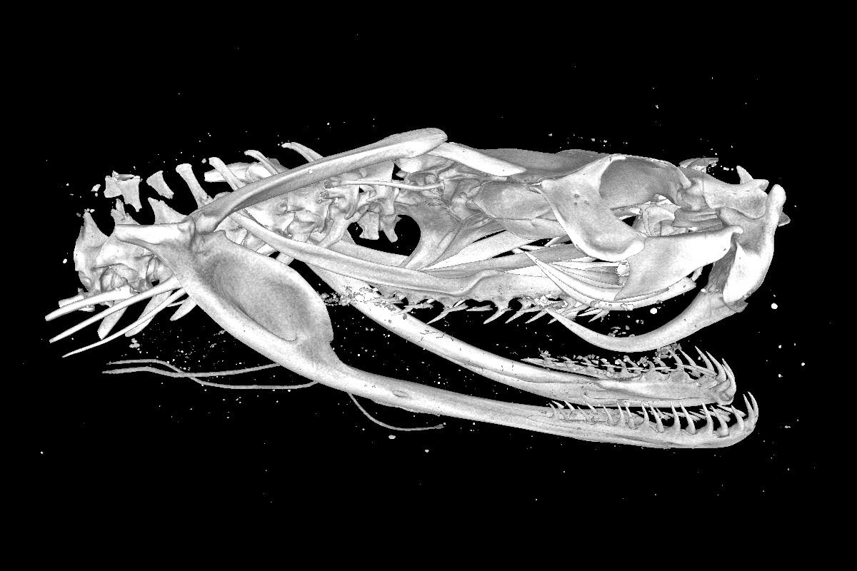 3D-Scan des Schädels einer Puffotter (Bitis arietans). Bild: Museum für Naturkunde Berlin