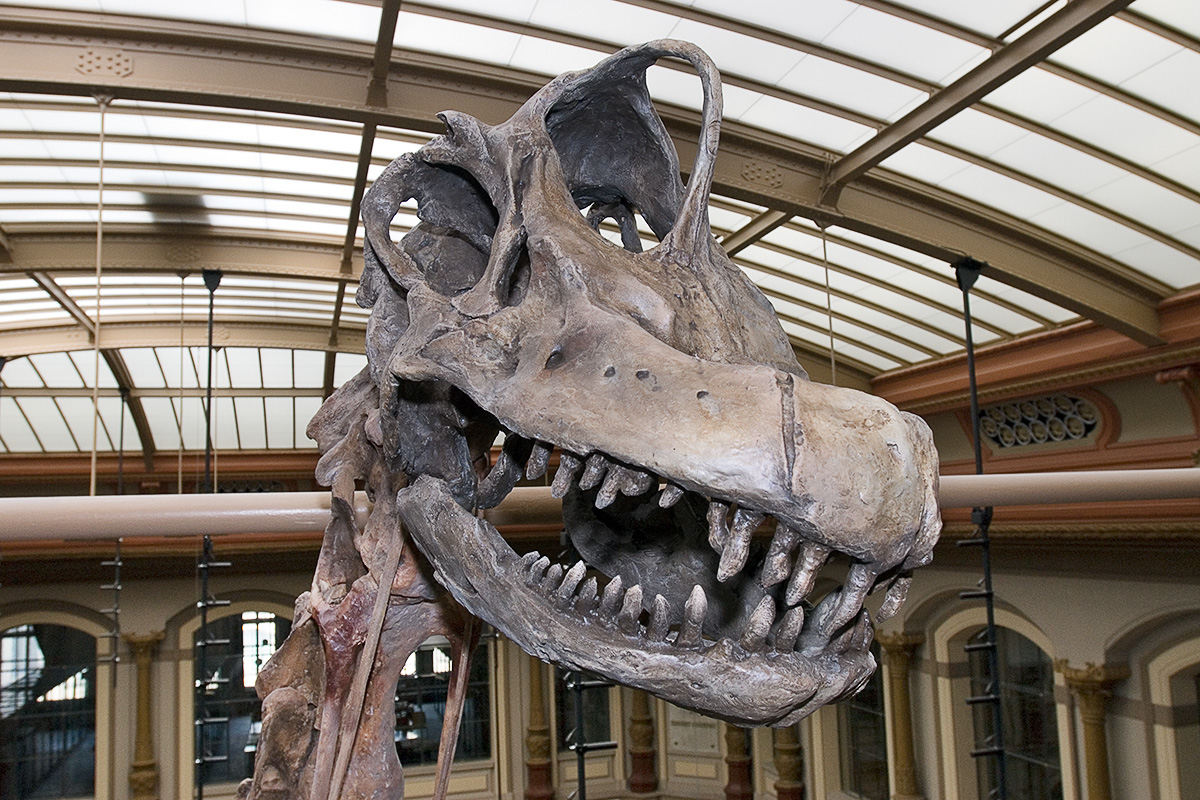 Das Foto zeigt den Schädel des Brachiosaurus brancai im Detail, besonders markant sind seine Zähne.
