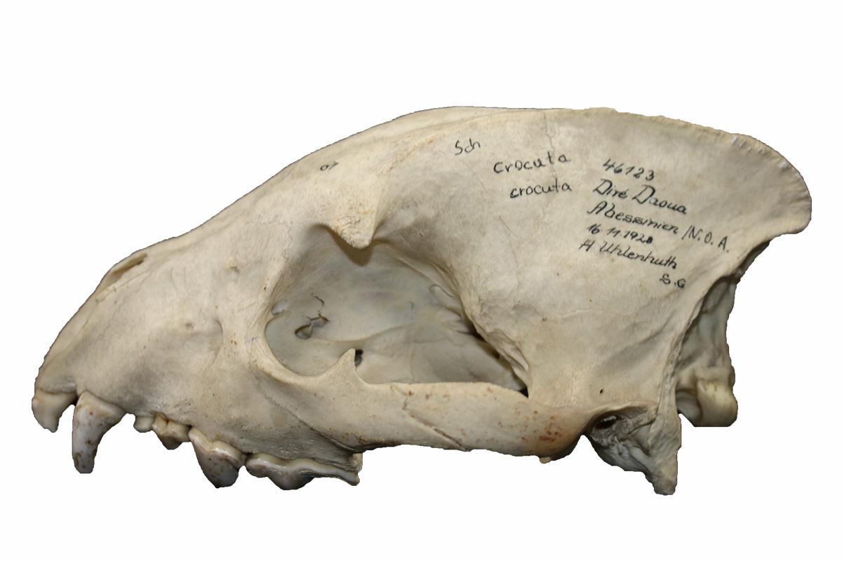 Schädel einer Tüpfelhyäne Crocuta crocuta, Foto: Peter Giere, MfN