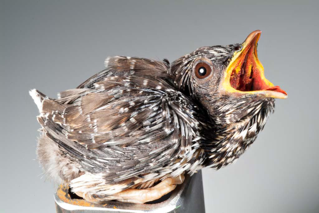 Das Foto zeigt einen Kuckuck mit weit aufgerissenem Schnabel