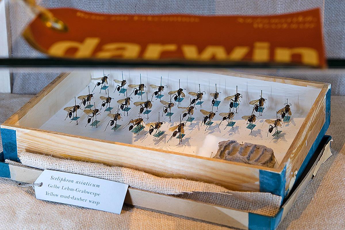 Das Foto zeigt gelbe Lehm-Grabwespen reihenweise mit Nadeln in einem Holzkasten fixiert.