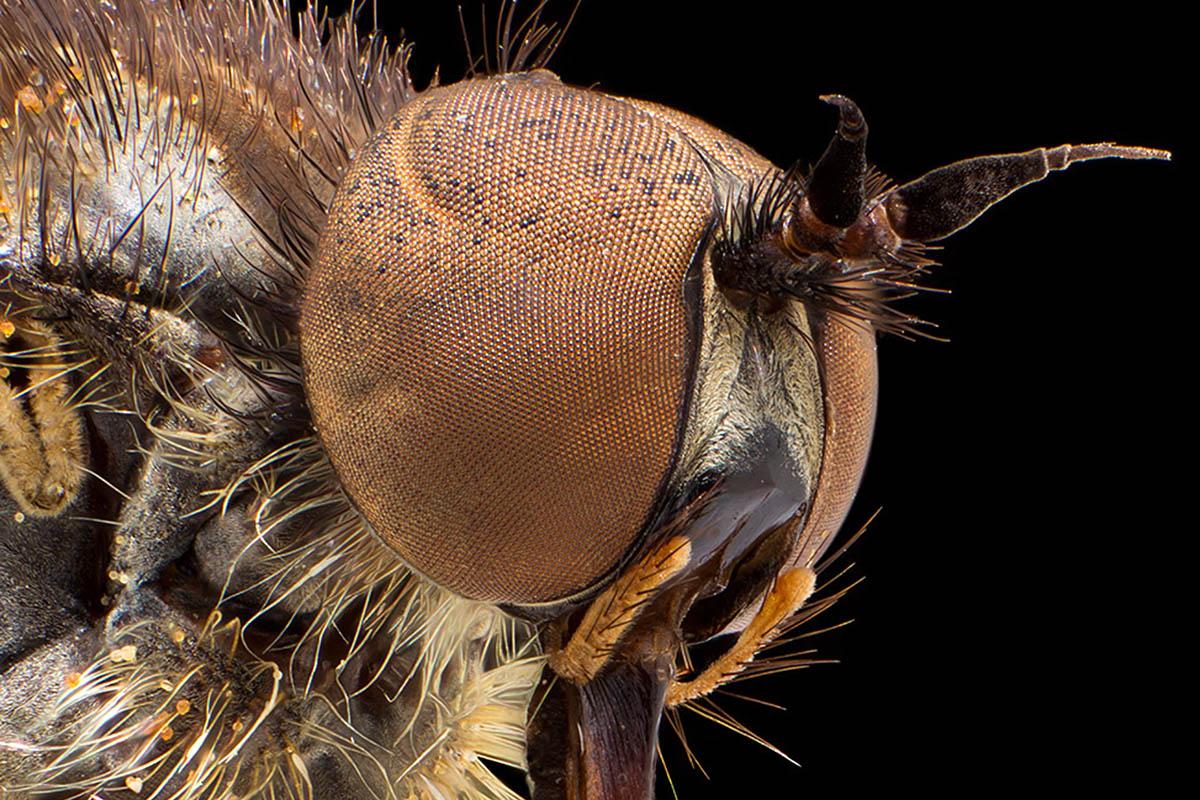 Das Foto zeigt den Kopf einer Fliege in Macroaufnahme.