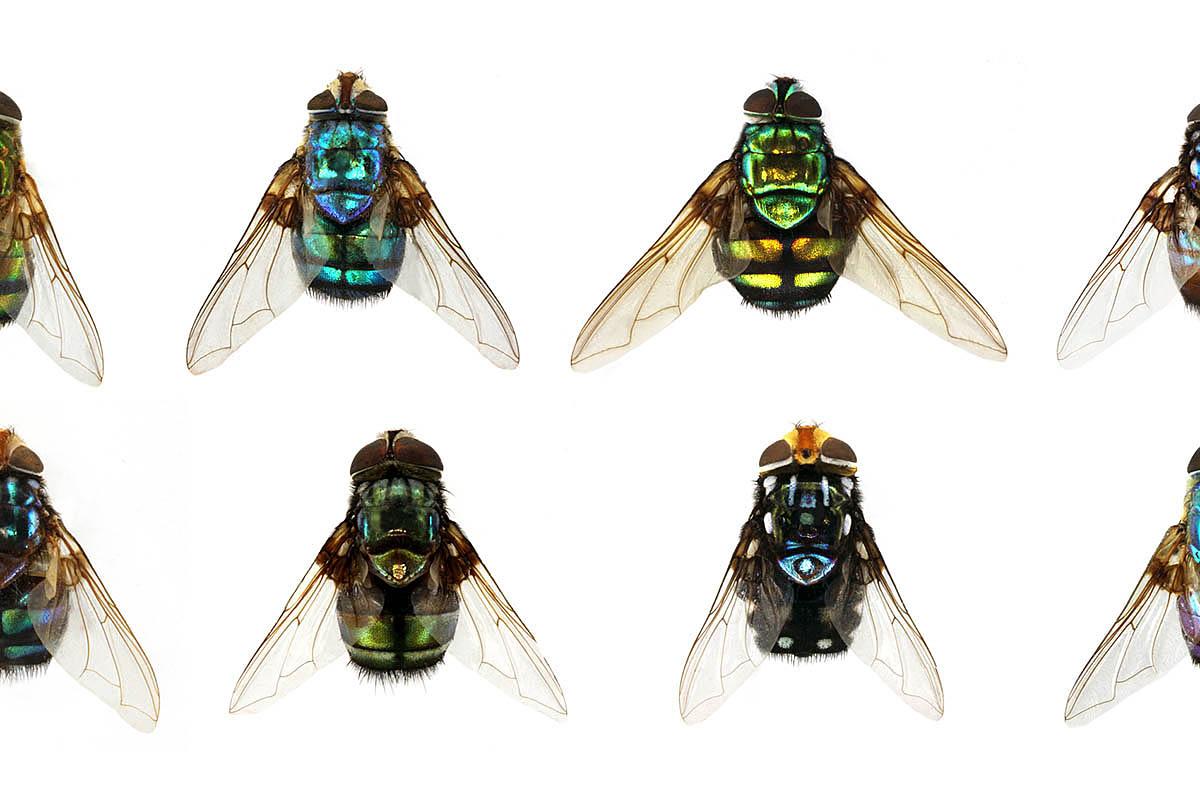 Farbige Fliegen