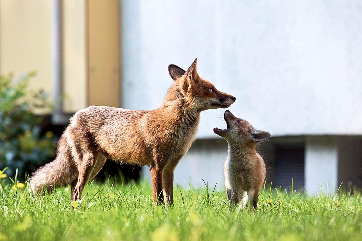 Das Foto zeigt einen Fuchs mit seinem Jungen.