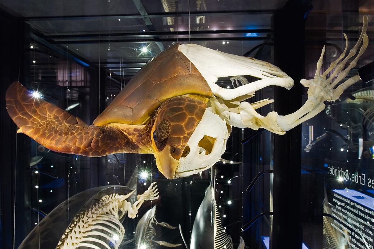 Die Meeresschildkröte verfügt über ein an das Leben im Wasser angepasstes beschupptes Reptilienbein. Das Foto zeigt das Tier im Halbschalenmodell.