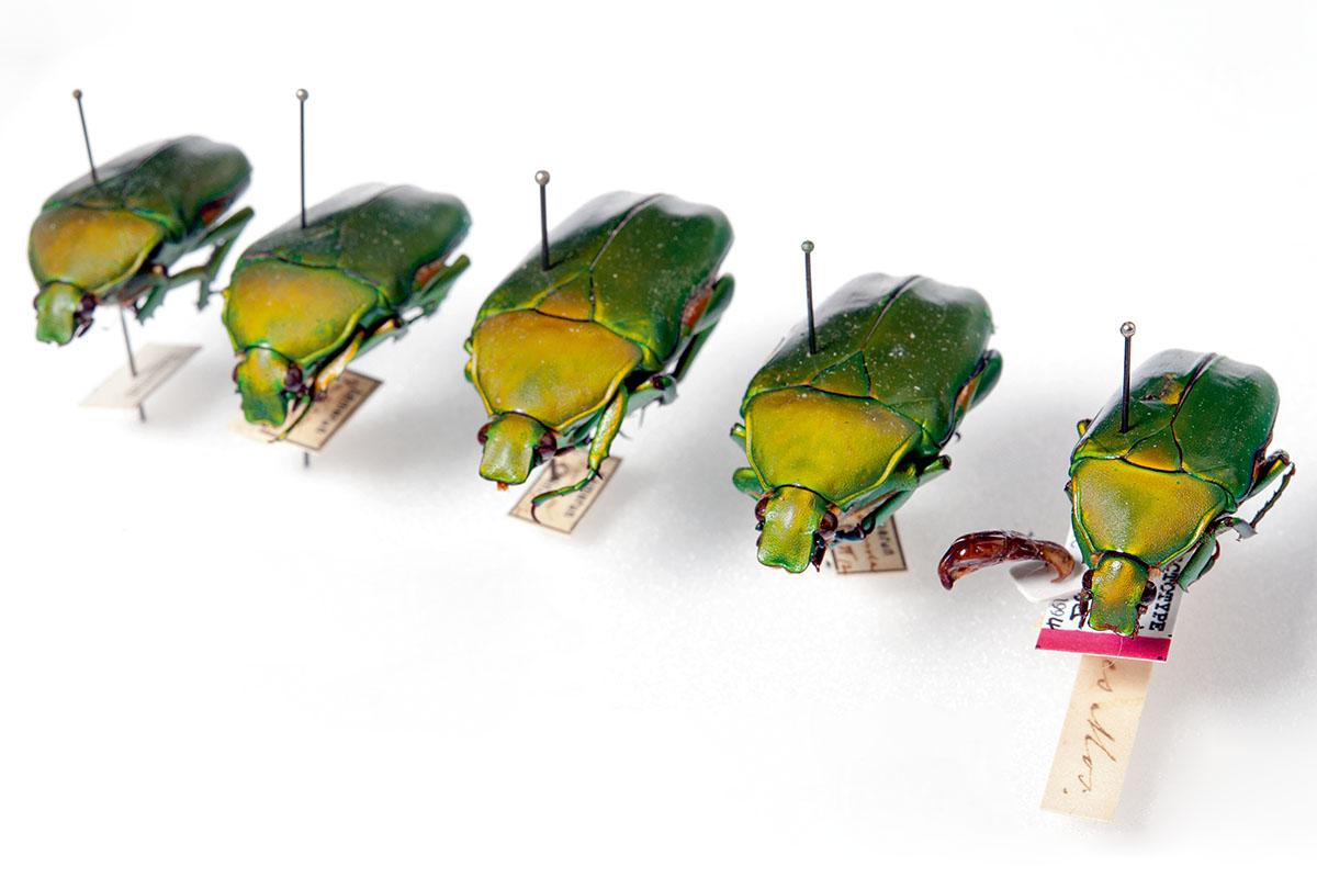 Käfer in einem Sammlungskasten