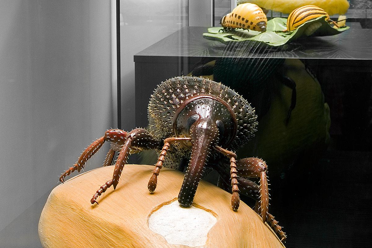 Das Foto zeigt das Modell eines Kornkäfers an einem Weizenkorn in 85-facher Vergrößerung.