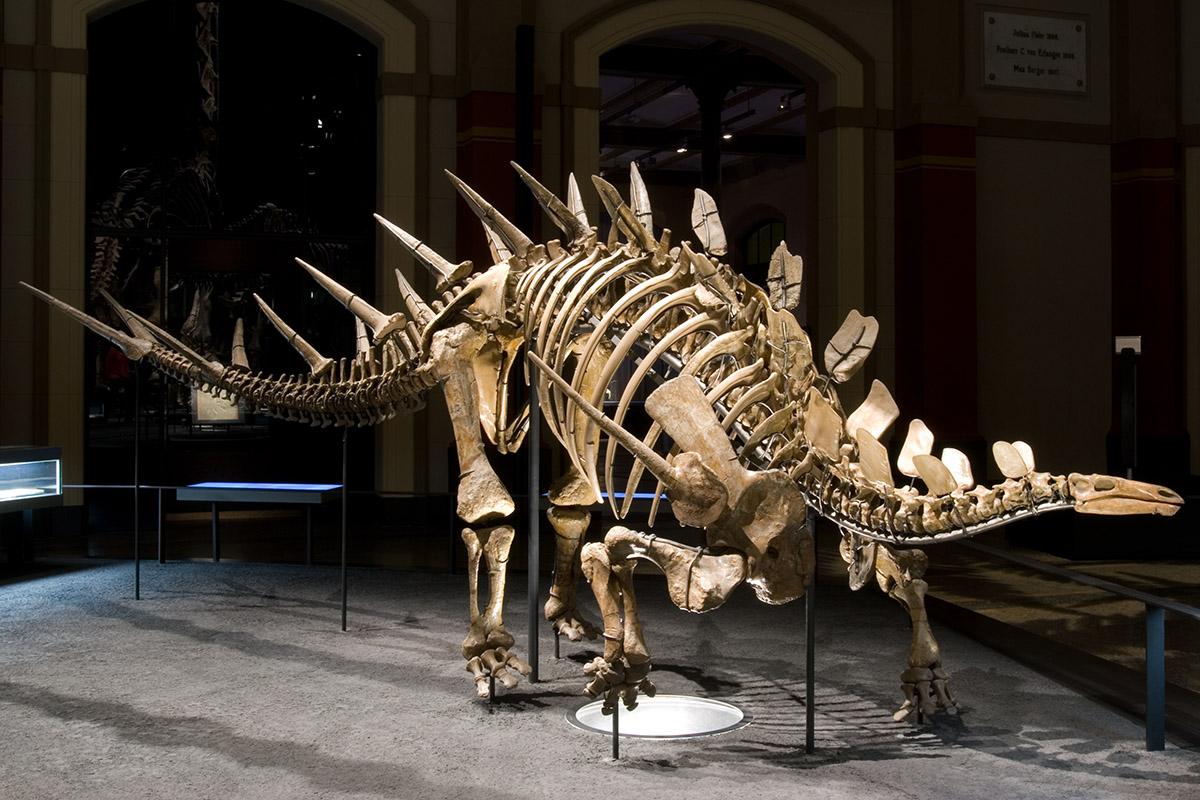 Das Foto zeigt den Kentrosaurus in der Ausstellung, charakteristisch für ihn sind die paarweise angeordneten Stacheln an Rücken und Schwanz.