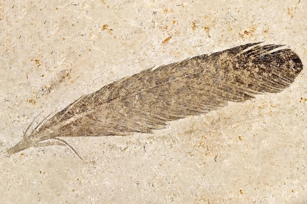 Die fossile Feder ist der ursprüngliche Holotyp und das namensgebende Fossil für Archaeopteryx. Sie wurde 1861 von Hermann von Meyer beschrieben.