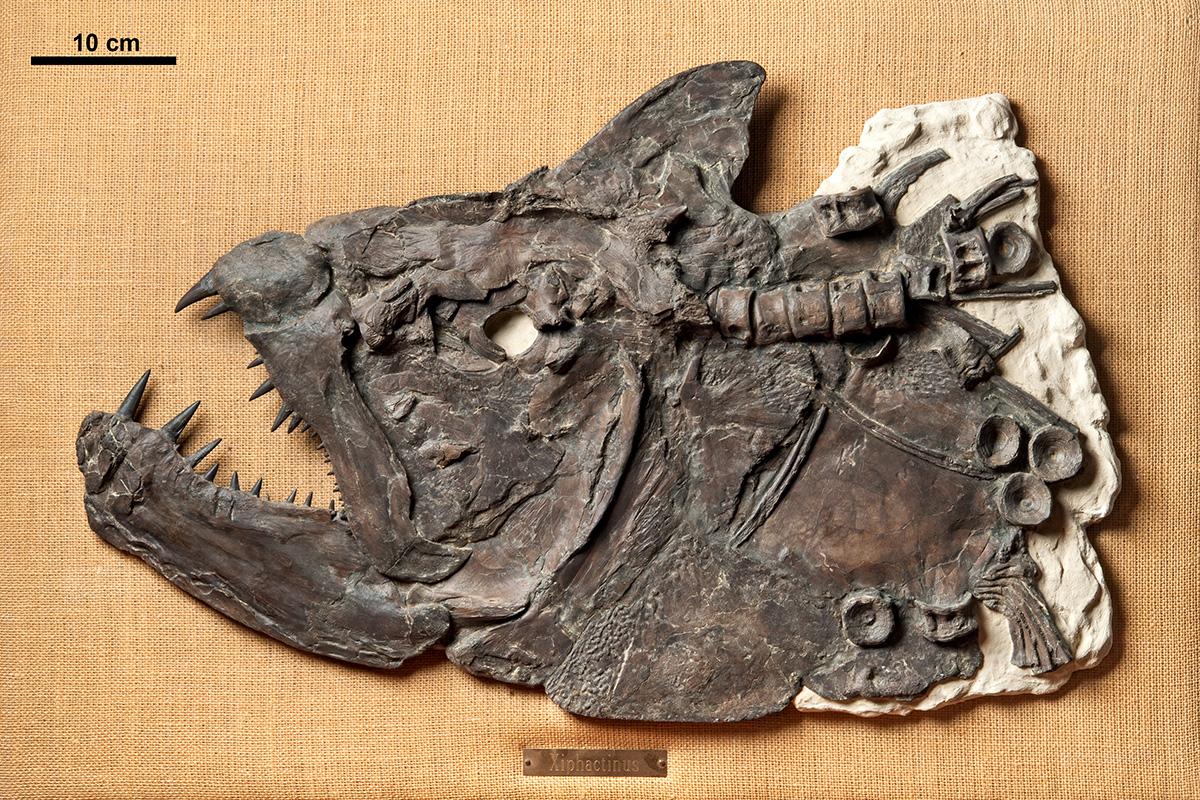 """Xiphactinus audax war ein bis zu 6 Meter langer Raubfisch und gehört zu den Teleostei (""""Knochenfische im engeren Sinn"""") innerhalb der Strahlenflosser (Actinopterygii). Museum für Naturkunde Berlin"""