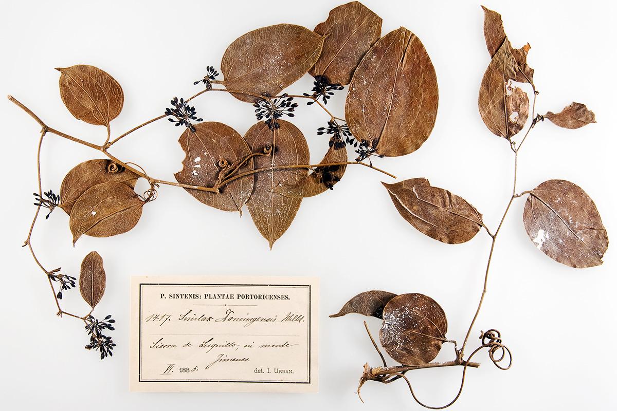 Smilax Domingensis, Stechwinde, Herbar, rezente Pflanzen, Museum für Naturkunde Berlin