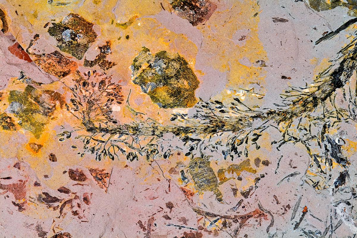 Koeppenia eifelensis (= Foozia minuta) aus dem Unterdevon von Waxweiler in der Eifel ist eine ca. 400 Millionen Jahre alte Cladoxylale. Dieser Fund belegt eine überraschend hohe Entwicklungsstufe der Pflanzen bereits im Unterdevon.