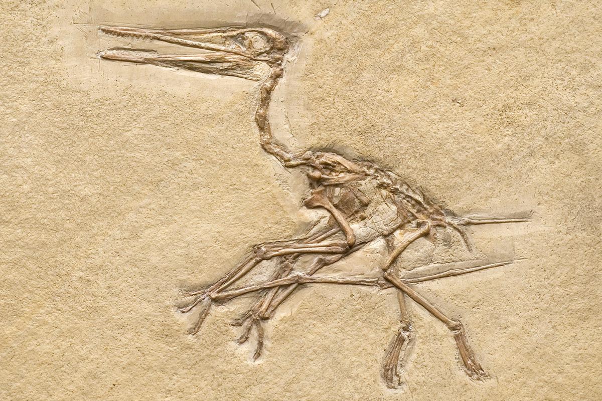 Das Foto zeigt den Flugsaurier Pterodactylus kochi, er besaß eine Flügelspannweite von 50-75 cm.