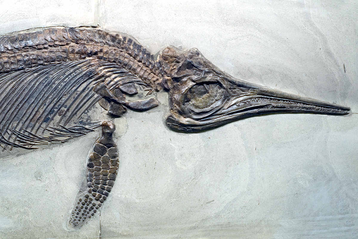 Die marinen Reptilien aus Holzmaden, Süddeutschland, wurden im späten 19. Jahrhundert in die paläontologische Sammlung des Museums für Naturkunde Berlin eingegliedert. Sie umfassen insbesondere Ichthyosaurier, wie z.B. das auf dem Bild zu sehende Exemplar