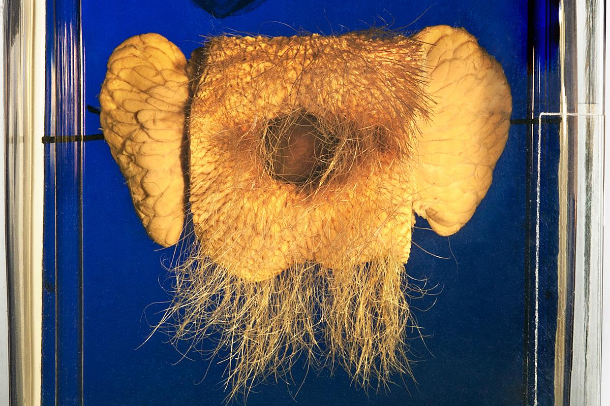 Schauobjekt tachyglossus acuelatus schnabeligel, Foto: HwaJa Götz / MfN