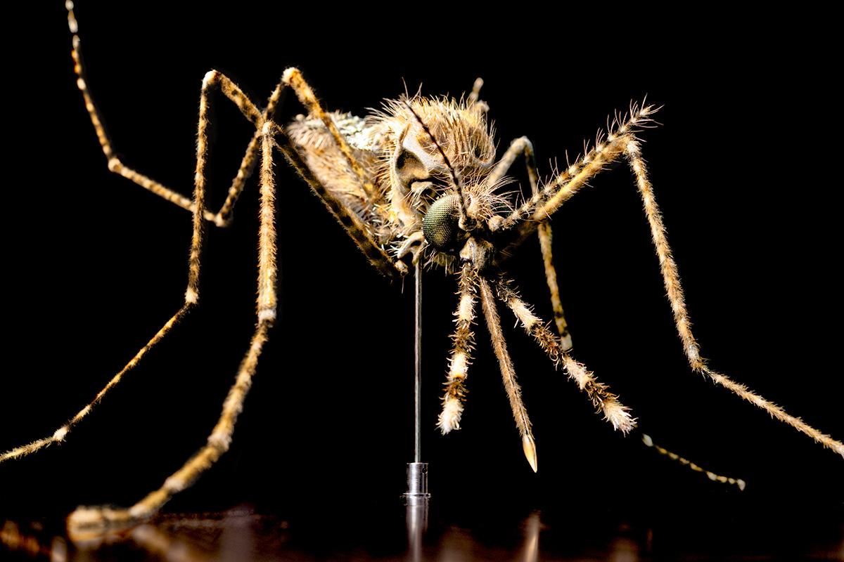 Das Foto zeigt ein Modell einer Anopheles Mosquito in 60-facher Vergrößerung.