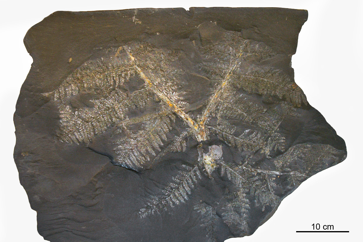 Ein fast vollständiger Wedel von Neuropteris attenuata, aus dem Westfal D des Piesbergs bei Osnabrück der Sammlung Stossmeister. Solche völlig erhaltende Wedel sind äußerst selten.