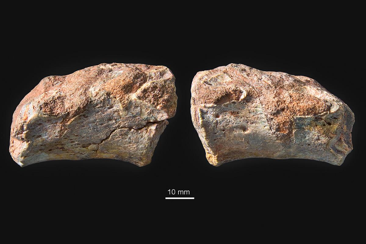 Zwei verwachsene Wirbelkörper des obertriassischen Urlurchs Metoposaurus algarvensis mit einem dazwischenliegenden Halbwirbel auf der linken Seite. Oben: Exemplar von links; drei Gelenkflächen für Rippen sind zu sehen. Unten: Exemplar von rechts; nur zwei