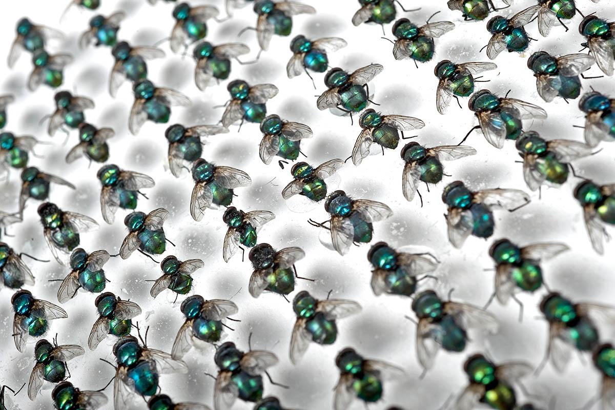 Das Foto zeigt eine Vielzahl an Fliegen, nebeneinander in Reihen fixiert.