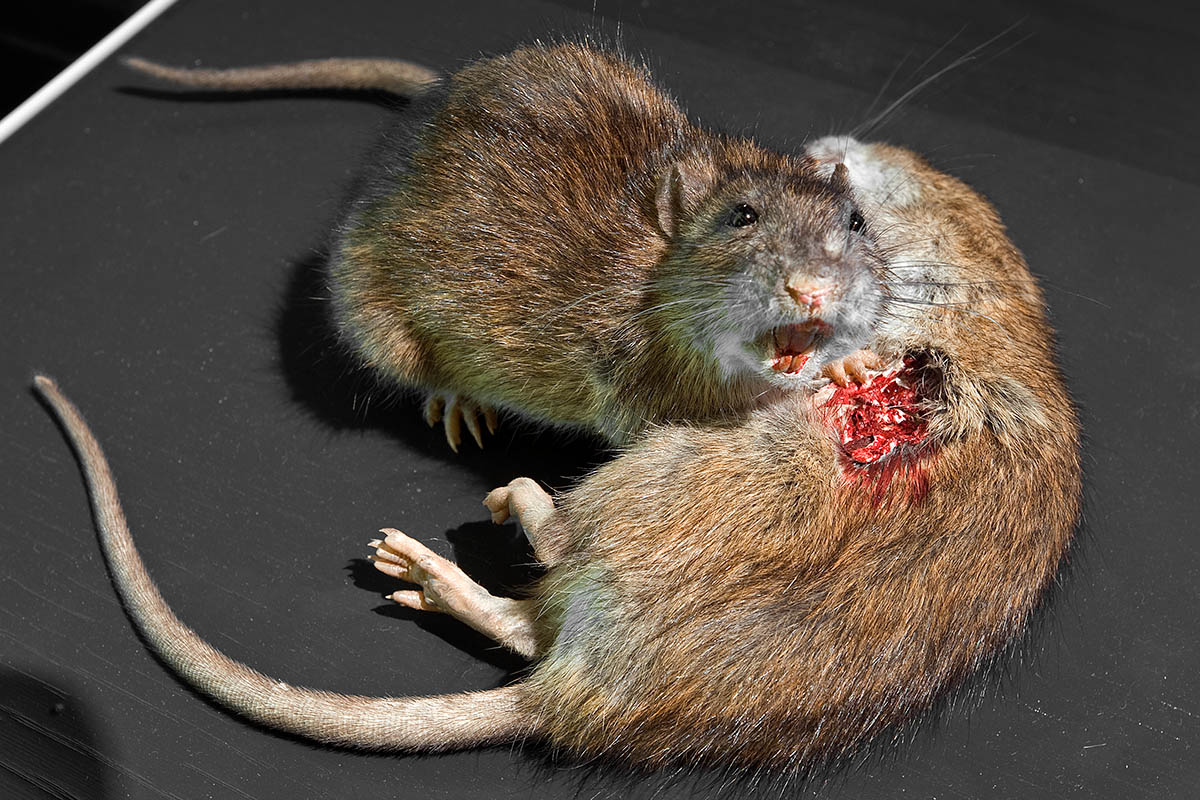 Das Foto zeigt zwei Ratten, eine hat eine blutende Wunde.