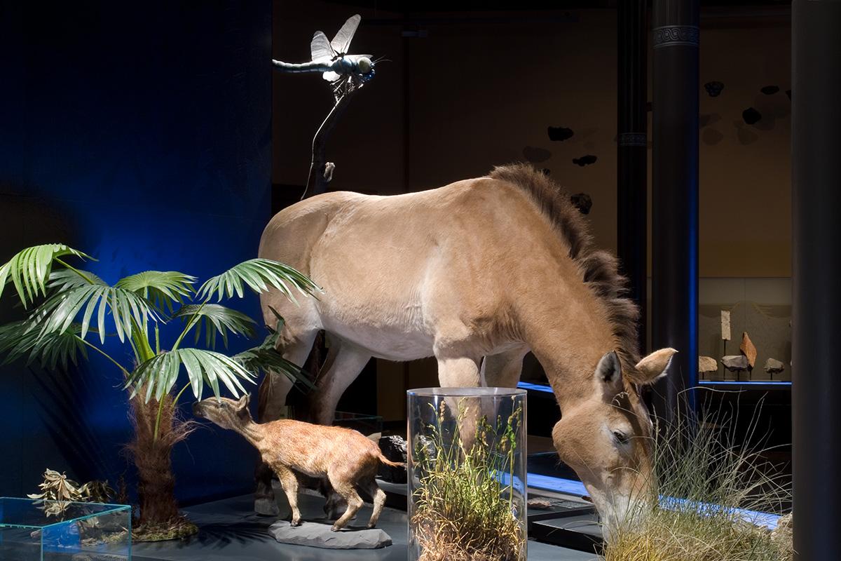 An dieser Themeninsel wird das sehr kleine Urpferdchen dem heutigen Pferd gegenübergestellt.