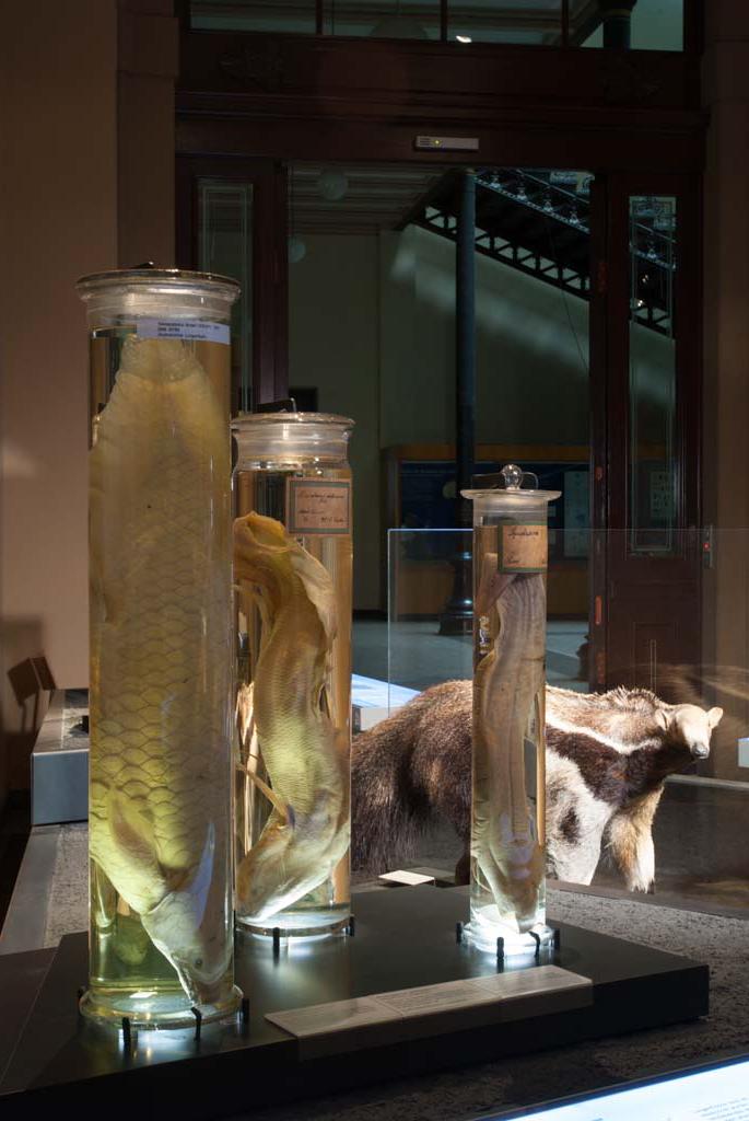 An dieser Themeninsel ist ein Präparat des Großen Ameisenbär sowie Lungenfische in mit Alkohol gefüllten Gläsern ausgestellt.