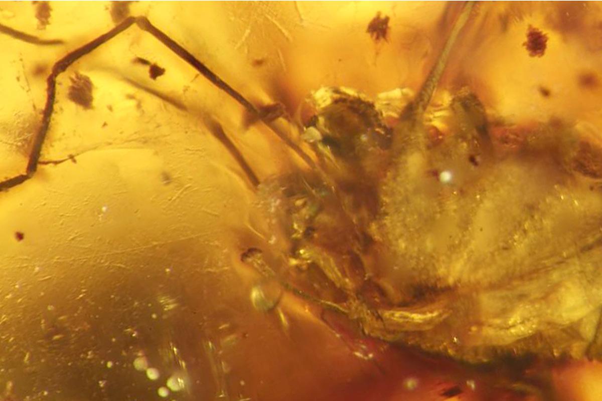 Weberknecht Fossil in Bernstein, Foto: (c) Jason Dunlop