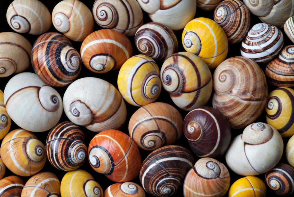 Das Foto zeigt eine Vielzahl an Bänderschnecken, die sich in Form und Farbe unterscheiden. Sie variieren zwischen den Farben Weiß, Gelb, Orange und Braun mit jeweils unterschiedlichem Muster.