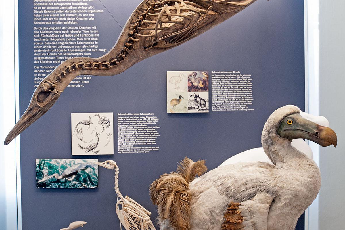 Das Foto zeigt die Vitrine in der Ausstellung, in welcher die Rekonstruktion des Tauchvogels und die des Dodos präsentiert werden.