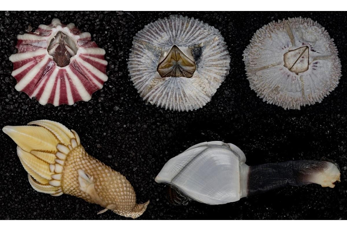 Seepocken und Entenmuscheln gehören zur Gruppe der Krebstiere. Arme, Beine und Scheren sind zu Rankenfüßen umgebildet. Foto: Pipit Pitriana/Museum für Naturkunde Berlin