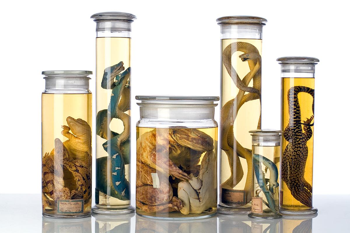 Gruppe von Reptilien und Ambhibin als Alkoholpräparate, Foto: Carola Radke / MfN