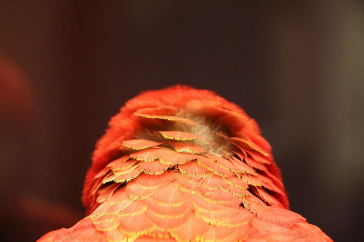Kopf eines roten Aras von Hinten in Nahaufnahme