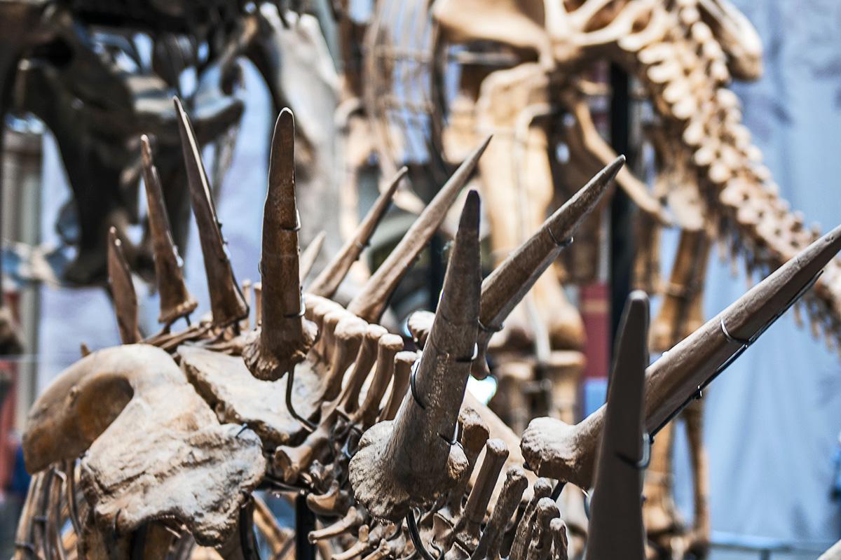 Die Fossilien eines Kentrosaurus aethiopicus wurden am Tendaguru-Hügel in Tansania ausgegraben. Foto: Carola Radke/Museum für Naturkunde Berlin