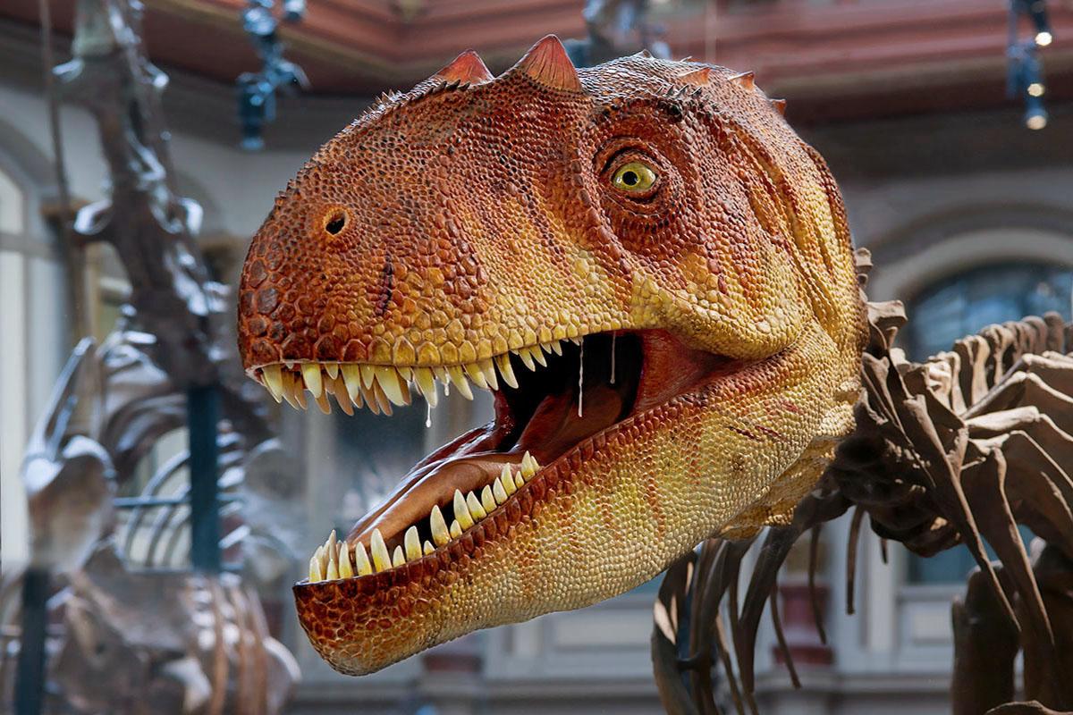 Das Foto zeigt den rekonstruierten Kopfes des Allosaurus. Sein Maul hat er weit aufgerissen und zum Vorschein kommen seine weißen scharfen Zähne.