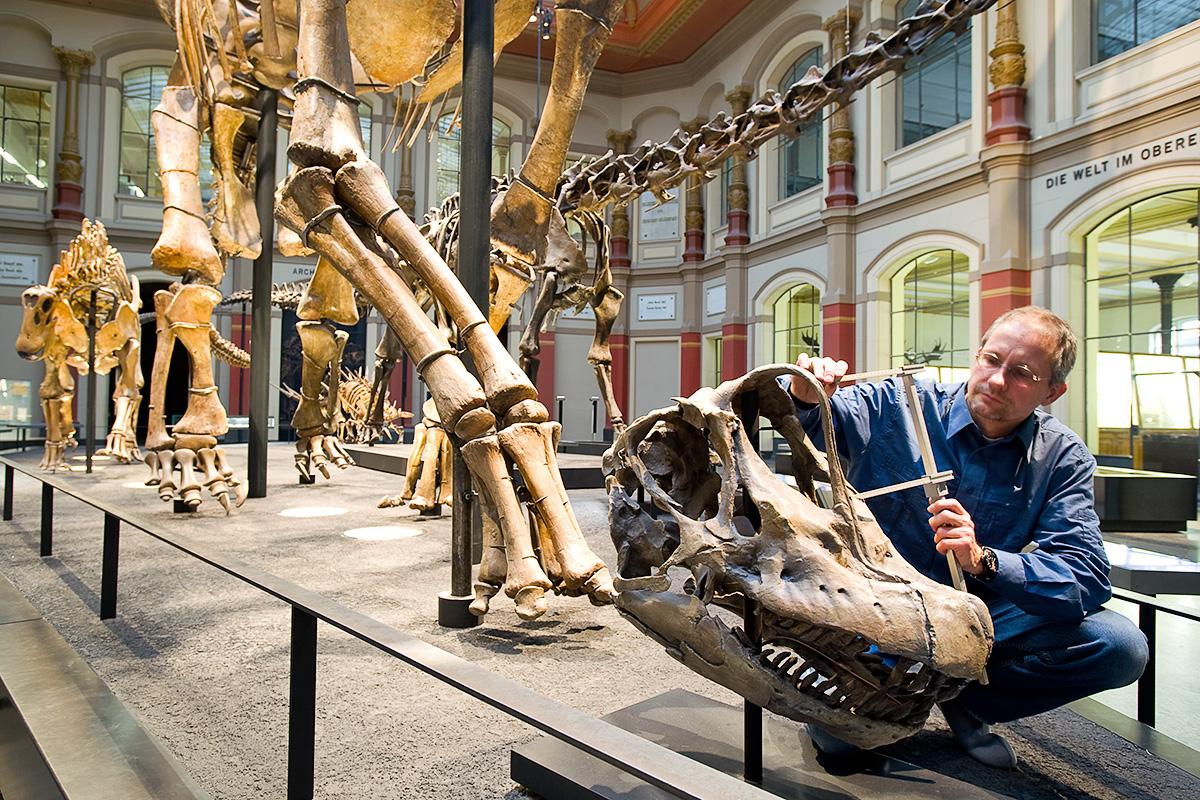 Wissenschaftler vermisst den Schädel des Brachiosaurus in der Ausstellung des Museums für Naturkunde