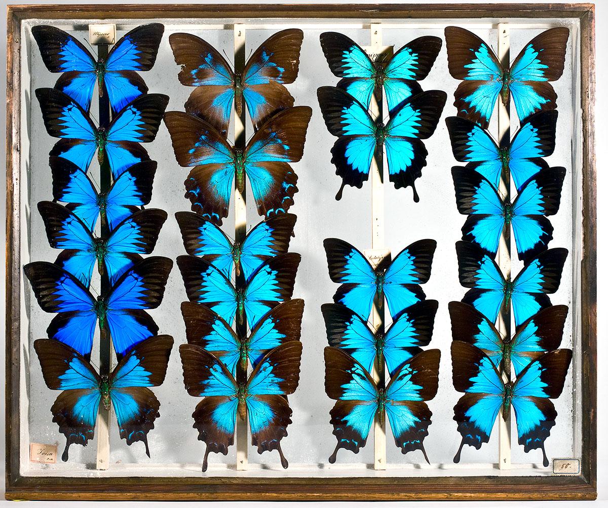 Ein Sammlungskasten mit Schmetterlingen in den entomoligischen Sammlungen des Museums für Naturkunde Berlin