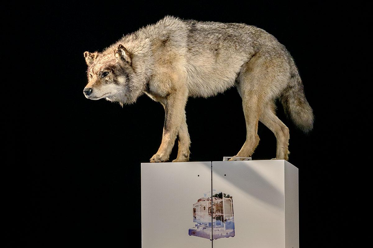 Wolfpräparat aus der Sonderausstellung Silemann! des Museums für Naturkunde Berlin